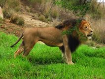 Lion Hiding selvagem imagem de stock royalty free