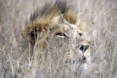 Lion hiding in tall grass stock photos
