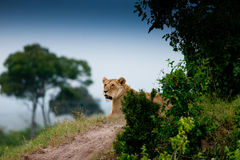 Lion on the hill Stock Images