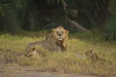 Lion and his cubs in the Savannah Royalty Free Stock Photos