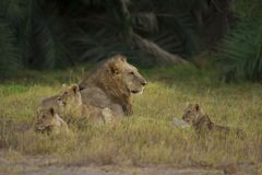 Lion and his cubs in the Savannah. Lion in the savannah in Amboseli National Park of Kenya royalty free stock photos