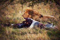 Lion and his prey on savanna, Serengeti, Africa royalty free stock photo