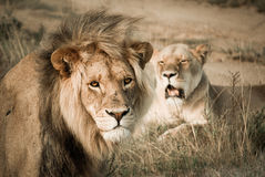 Lion & His Queen Royalty Free Stock Photography