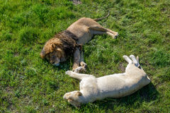 Lion and his white lioness relaxing on the grass Stock Photos
