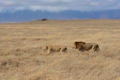 Lion honeymooning dans le cratère de Ngorongoro de la Tanzanie image stock