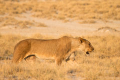 Lion hunt. Safari Etosha, Namibia Africa Royalty Free Stock Images
