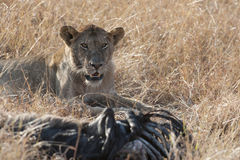 Lion Prey Stock Images