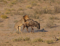 Lion hunt Royalty Free Stock Images