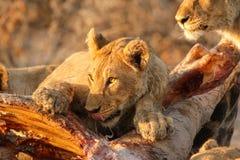 Lion hunt and kill a giraffe. Pride of lion kill and eat a giraffe Stock Photo