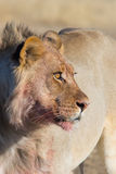 Lion hunter Royalty Free Stock Image