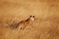 Lion Hunting. Female lion hunting in the long grass xxxl file Royalty Free Stock Photography