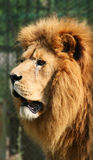 Lion hunting royalty free stock images