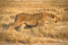 Lion hunting. Wild lion hunting, Etosha, Namibia Stock Photo