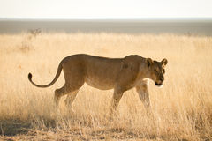 Lion hunting Royalty Free Stock Photo