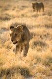 Lion hunting. Wild lion hunting, Etosha, Namibia Royalty Free Stock Image