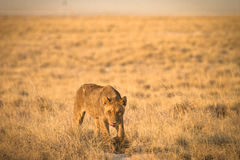 Free Lion Hunting Royalty Free Stock Images - 18390039