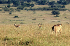 Lion Hunting Gazelles Stock Photography
