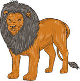 Lion Hunting Surveying Prey Drawing Stock Images