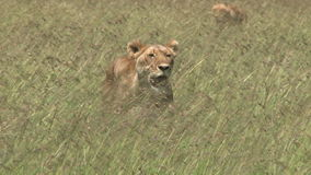 Lion hunting stock footage