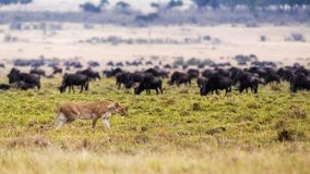Lion Hunting With Wildebeest in Background Stock Photos