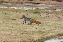 Lion hunts a Zebra Stock Image