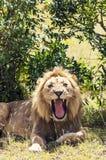 Lion hurlant Photographie stock libre de droits