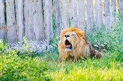 Lion hurlant dans un ZOO Image stock