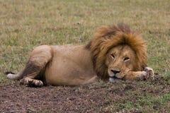 Lion I. Sleeping Lion in the savanna Stock Image