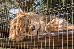 Lion i en zoo royaltyfria foton