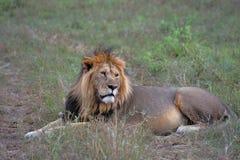 Lion i masaien mara Arkivfoto
