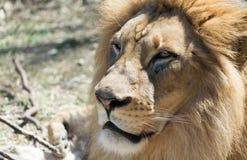 Lion i sunen Fotografering för Bildbyråer
