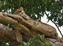 Lion i Uganda royaltyfria bilder