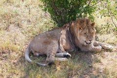 Lion II Images libres de droits