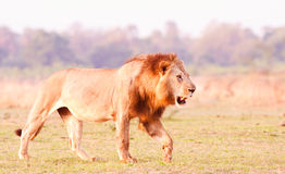 Lion. Image of an African Lion Hunting Stock Photo