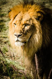 Lion stock photography