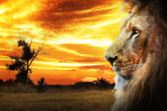 Lion Royalty Free Stock Images