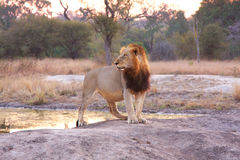 Free Lion In Sabi Sands Stock Photography - 5516912
