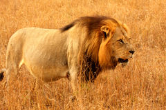 Free Lion In Sabi Sands Stock Photo - 5700690