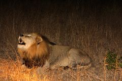 Free Lion In Sabi Sands Royalty Free Stock Photos - 5763108