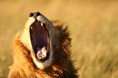 Free Lion In The Wilderness Of Africa Stock Photography - 178252102