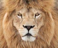 Lion intense Photos libres de droits