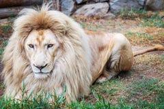 Lion intense Photographie stock libre de droits