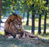 Lion isolated on the grass in an open space. stock images