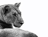 Lion isolated. Lioness isolated on a white background Royalty Free Stock Photography
