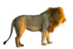 Lion isolated Stock Images