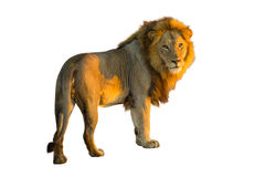 Lion isolated stock photography