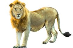 Lion isolated Royalty Free Stock Photo