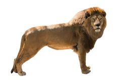 Lion isolated. On white background Stock Photography