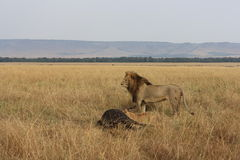 Lion and its kill. Male lion stands watch over its kill in the Masai Mara Kenya Stock Images