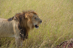 The lion and its pray in the savannah, Kenya. stock photo